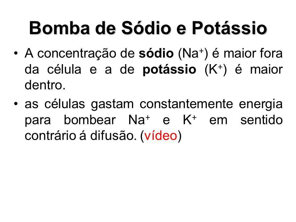 Bomba de Sódio e Potássio A concentração de sódio (Na + ) é maior fora da célula e a de potássio (K + ) é maior dentro. as células gastam constantemen