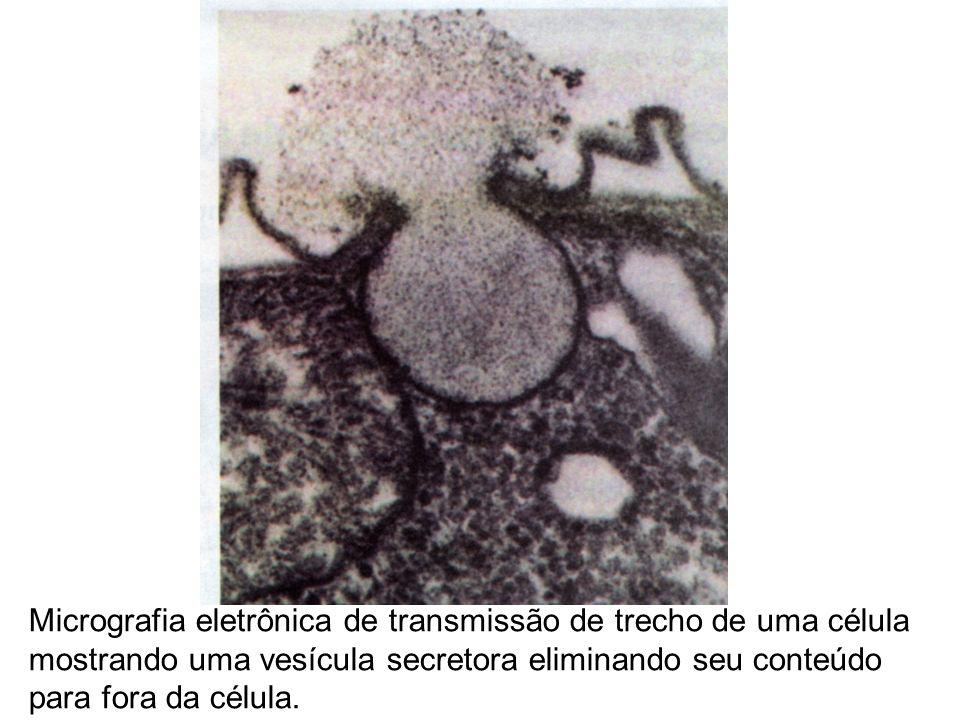 Micrografia eletrônica de transmissão de trecho de uma célula mostrando uma vesícula secretora eliminando seu conteúdo para fora da célula.