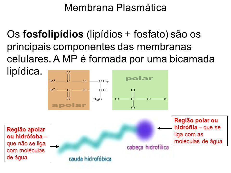 Região polar ou hidrófila – que se liga com as moléculas de água Região apolar ou hidrófoba – que não se liga com moléculas de água Os fosfolipídios (