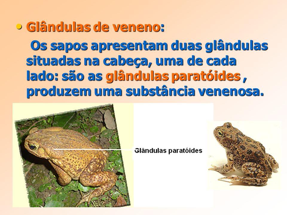 Glândulas de veneno: Glândulas de veneno: Os sapos apresentam duas glândulas situadas na cabeça, uma de cada lado: são as glândulas paratóides, produzem uma substância venenosa.