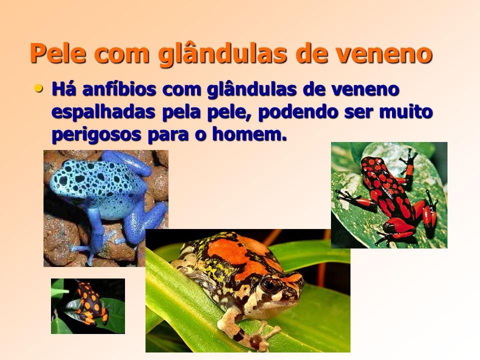 Pele com glândulas de veneno Há anfíbios com glândulas de veneno espalhadas pela pele, podendo ser muito perigosos para o homem.