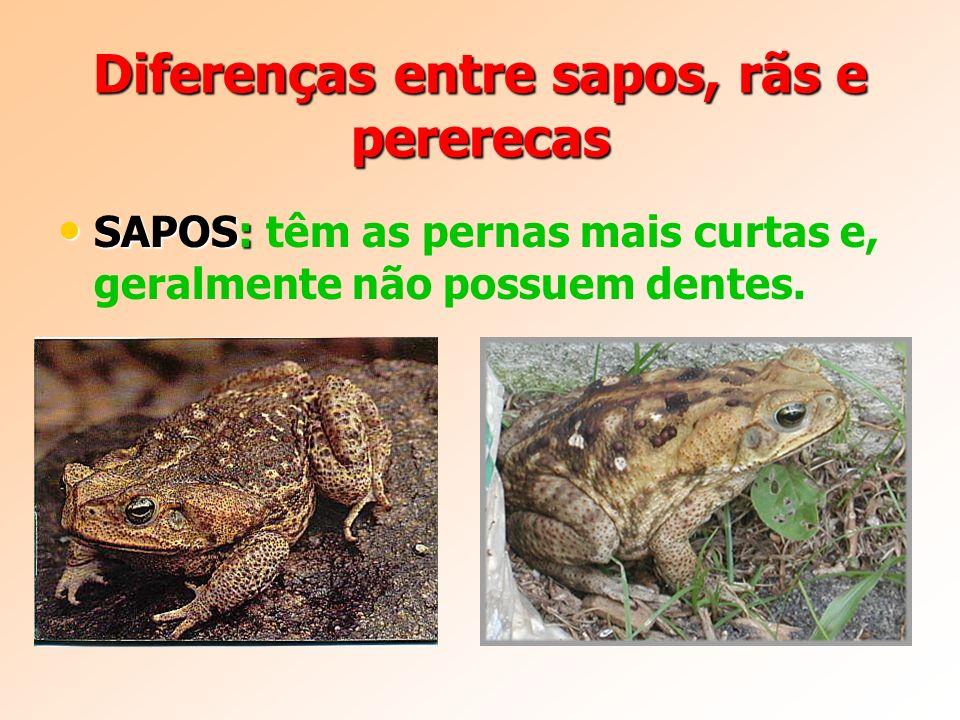 Diferenças entre sapos, rãs e pererecas SAPOS: SAPOS: têm as pernas mais curtas e, geralmente não possuem dentes.