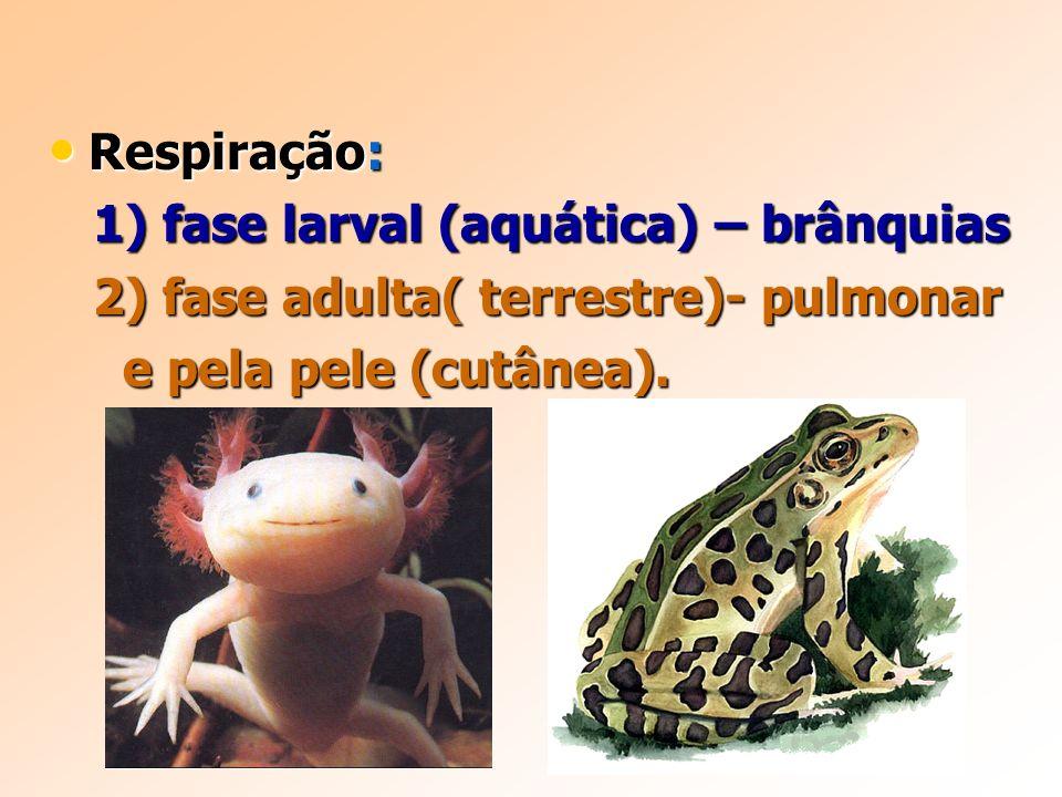Respiração: Respiração: 1) fase larval (aquática) – brânquias 1) fase larval (aquática) – brânquias 2) fase adulta( terrestre)- pulmonar 2) fase adulta( terrestre)- pulmonar e pela pele (cutânea).