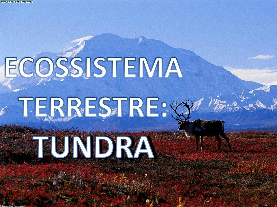 TUNDRA TUNDRA: Encontrado em altas latitudes; Vegetação rasteira: musgos, ervas, capins (sem árvores);