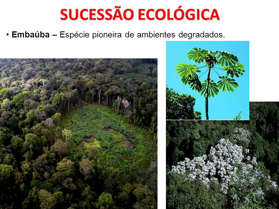SUCESSÃO ECOLÓGICA Embaúba – Espécie pioneira de ambientes degradados.