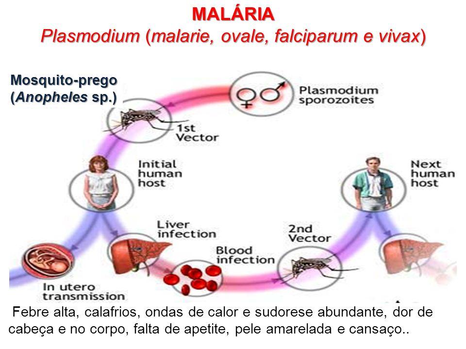 MALÁRIA Plasmodium (malarie, ovale, falciparum e vivax) Febre alta, calafrios, ondas de calor e sudorese abundante, dor de cabeça e no corpo, falta de