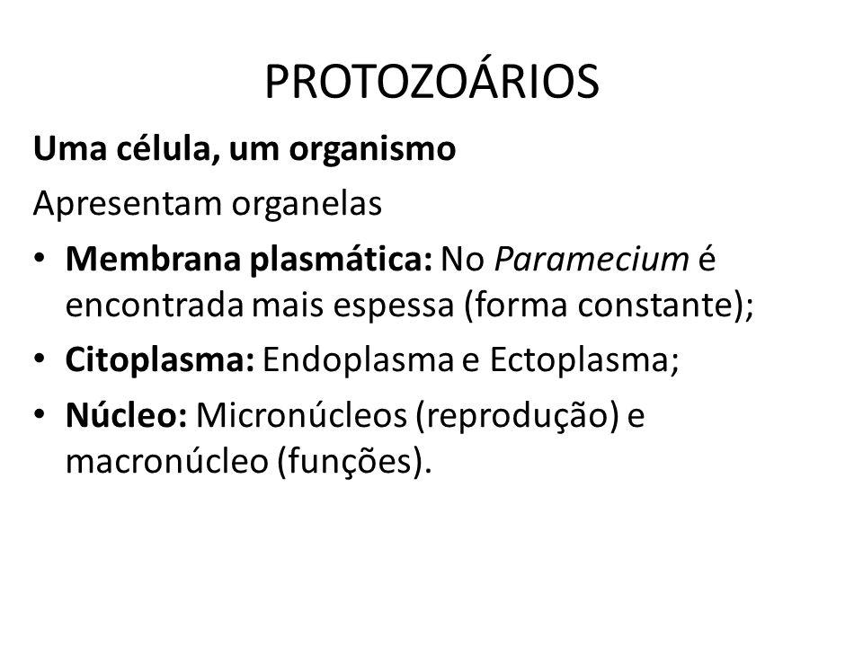 PROTOZOÁRIOS Uma célula, um organismo Apresentam organelas Membrana plasmática: No Paramecium é encontrada mais espessa (forma constante); Citoplasma: