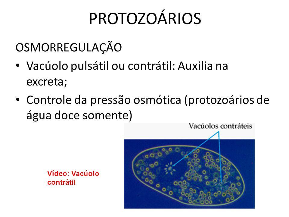 PROTOZOÁRIOS OSMORREGULAÇÃO Vacúolo pulsátil ou contrátil: Auxilia na excreta; Controle da pressão osmótica (protozoários de água doce somente) Vídeo: