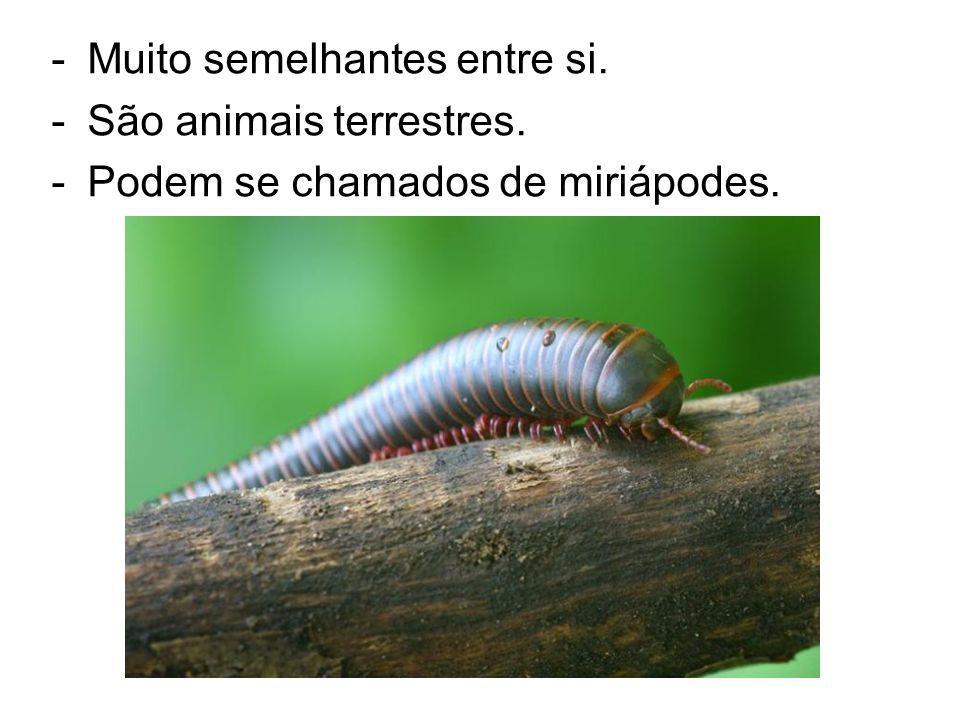 -Muito semelhantes entre si. -São animais terrestres. -Podem se chamados de miriápodes. Lacráia - Centopéias