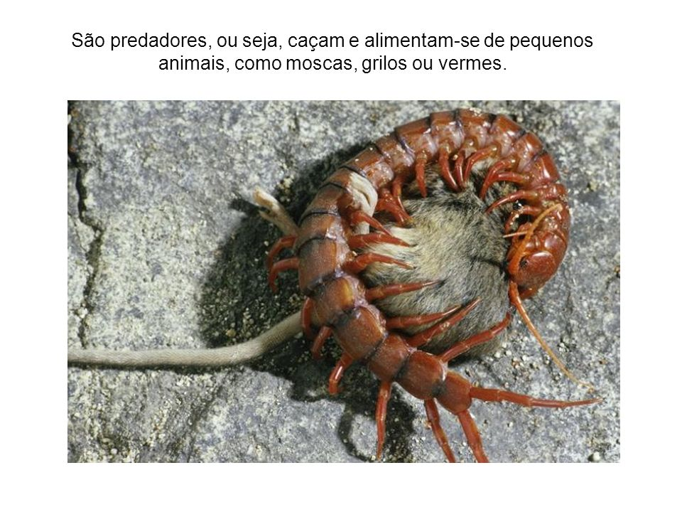 São predadores, ou seja, caçam e alimentam-se de pequenos animais, como moscas, grilos ou vermes.