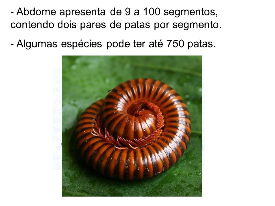 - Abdome apresenta de 9 a 100 segmentos, contendo dois pares de patas por segmento. - Algumas espécies pode ter até 750 patas.