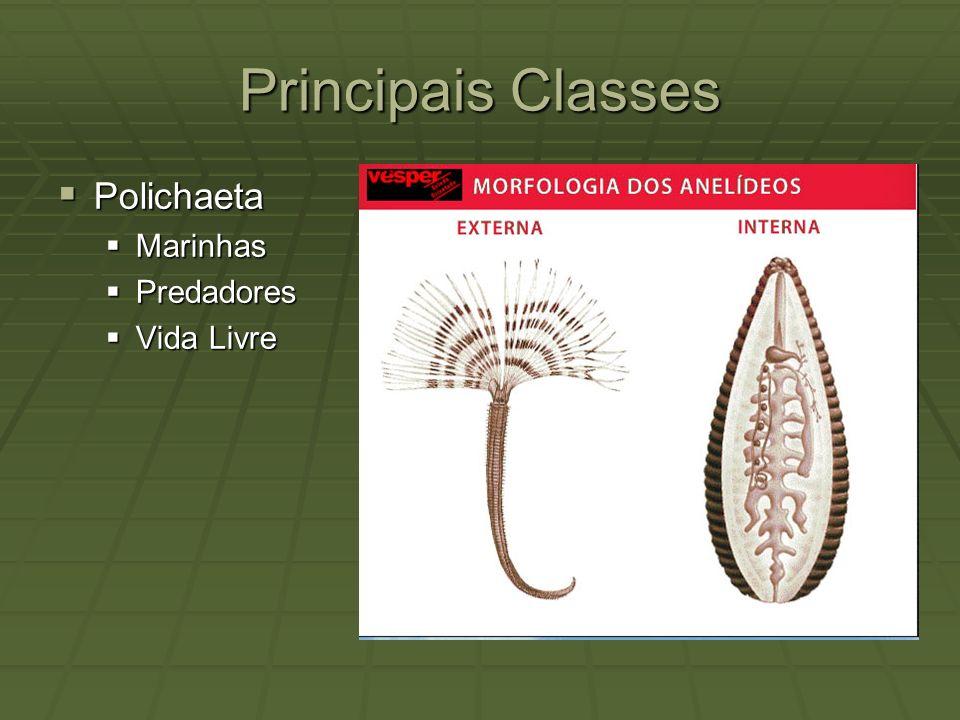 Principais Classes Polichaeta Polichaeta Marinhas Marinhas Predadores Predadores Vida Livre Vida Livre