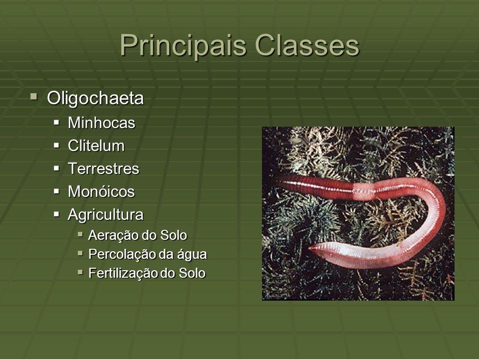 Principais Classes Oligochaeta Oligochaeta Minhocas Minhocas Clitelum Clitelum Terrestres Terrestres Monóicos Monóicos Agricultura Agricultura Aeração
