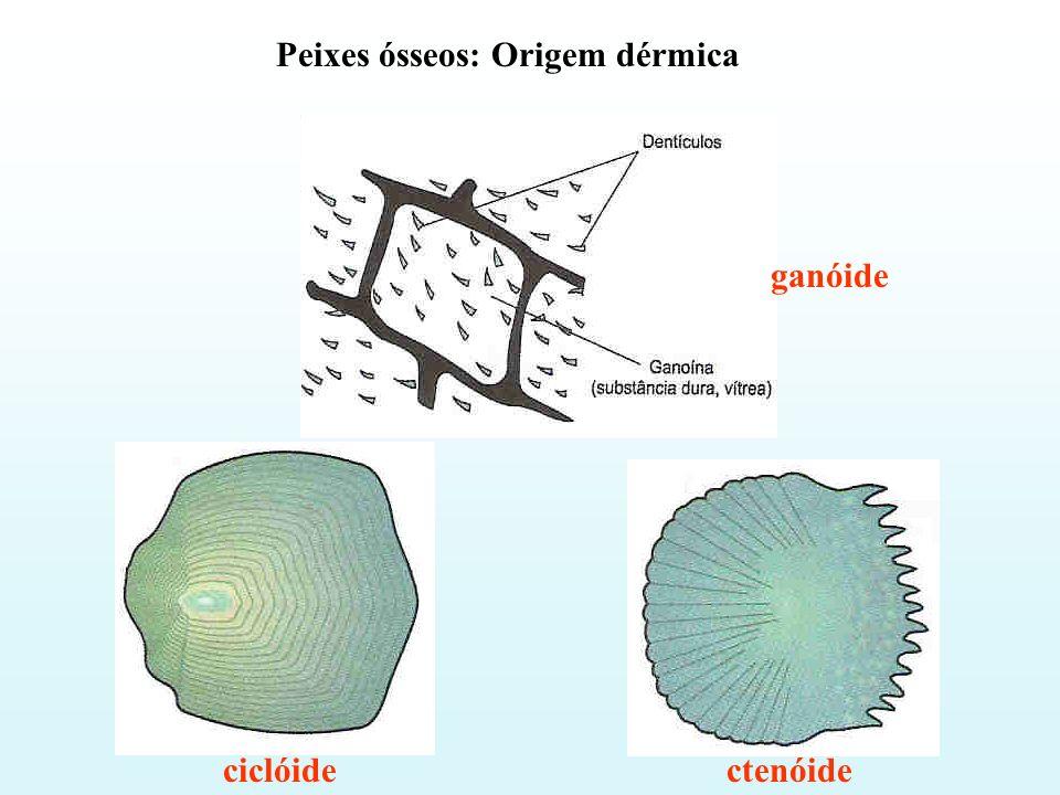 Peixes ósseos: Origem dérmica ciclóidectenóide ganóide