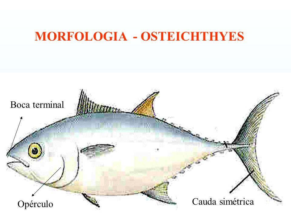 Cauda simétrica Opérculo Boca terminal MORFOLOGIA - OSTEICHTHYES