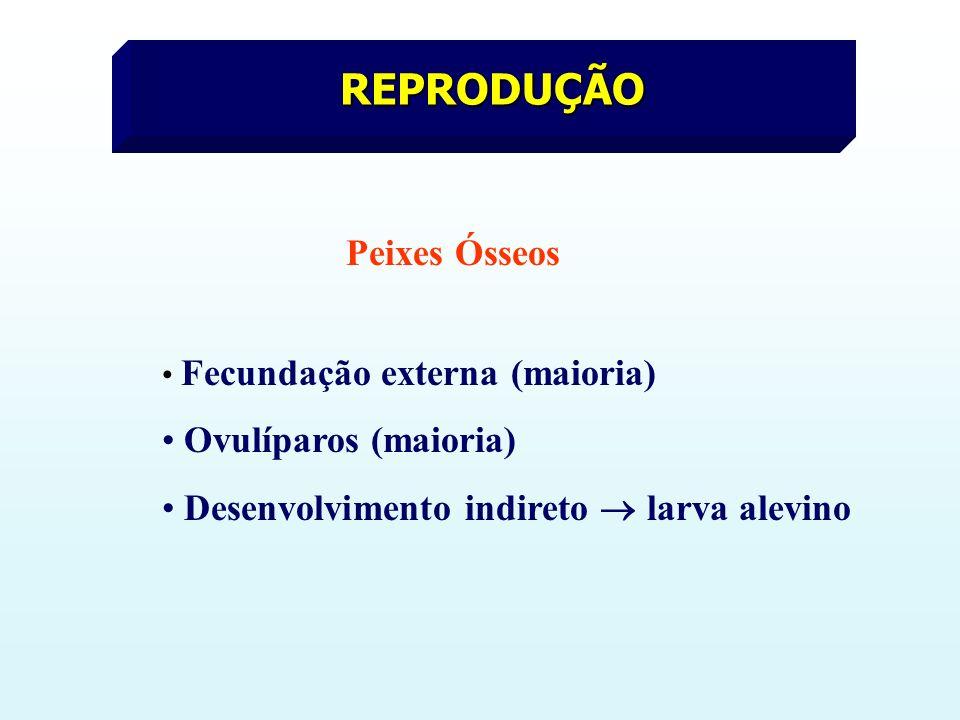 REPRODUÇÃO Peixes Ósseos Fecundação externa (maioria) Ovulíparos (maioria) Desenvolvimento indireto larva alevino