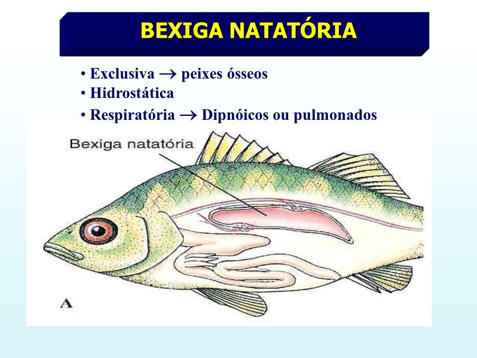 BEXIGA NATATÓRIA Exclusiva peixes ósseos Hidrostática Respiratória Dipnóicos ou pulmonados