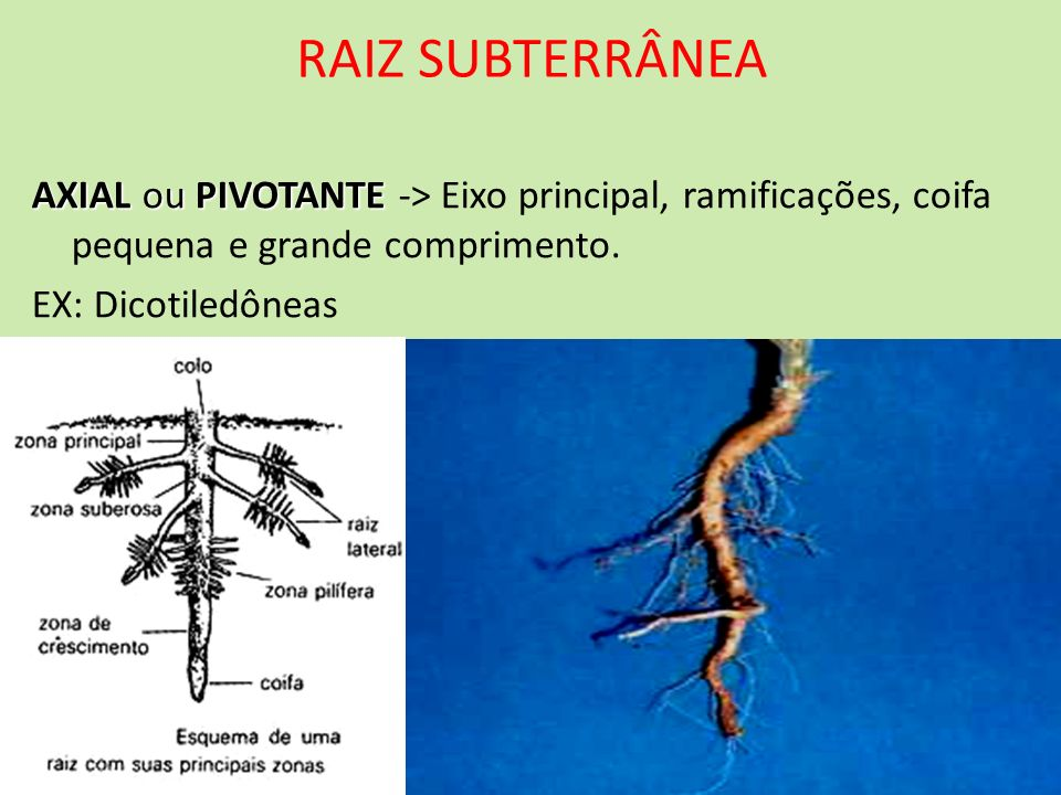 RAIZ SUBTERRÂNEA AXIAL ou PIVOTANTE AXIAL ou PIVOTANTE -> Eixo principal, ramificações, coifa pequena e grande comprimento. EX: Dicotiledôneas