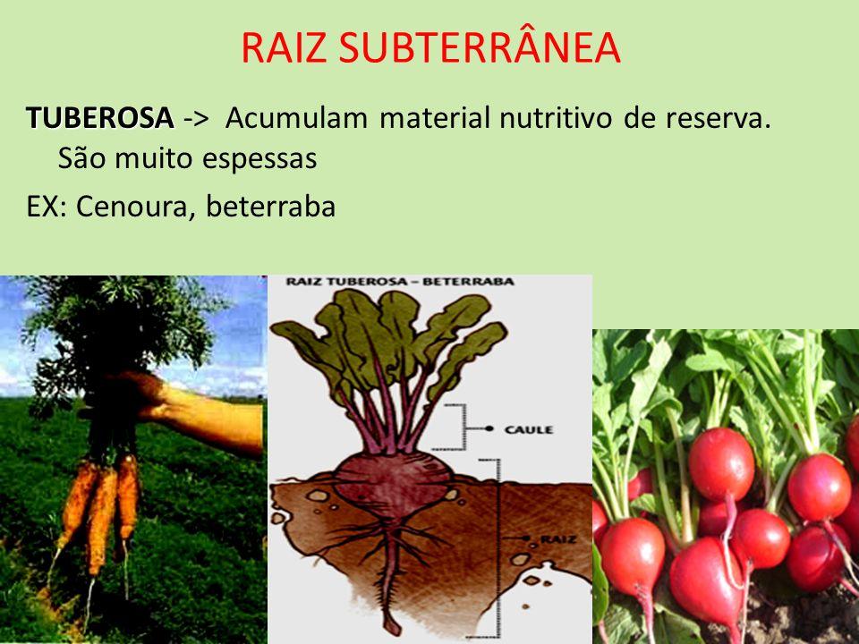 RAIZ SUBTERRÂNEA TUBEROSA TUBEROSA -> Acumulam material nutritivo de reserva. São muito espessas EX: Cenoura, beterraba