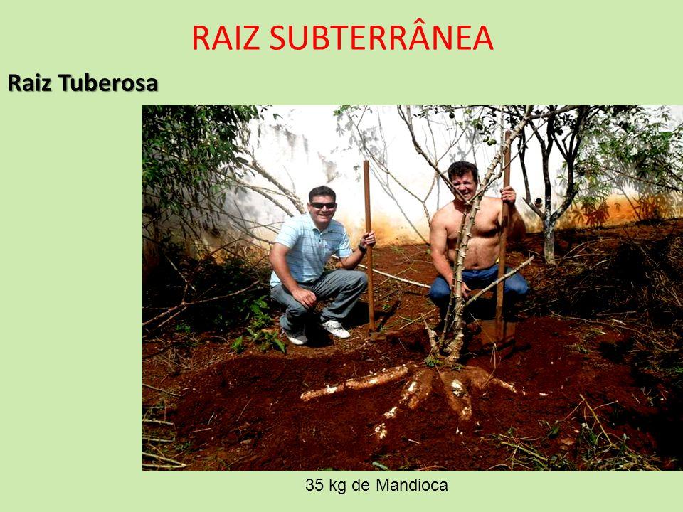 RAIZ SUBTERRÂNEA Raiz Tuberosa 35 kg de Mandioca