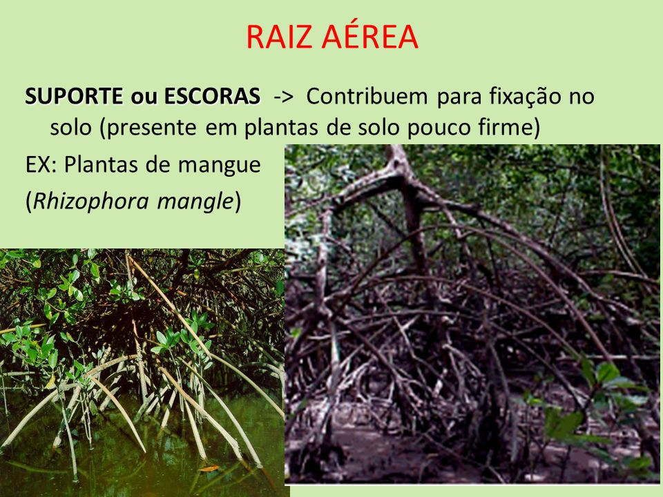 RAIZ AÉREA SUPORTE ou ESCORAS SUPORTE ou ESCORAS -> Contribuem para fixação no solo (presente em plantas de solo pouco firme) EX: Plantas de mangue (R