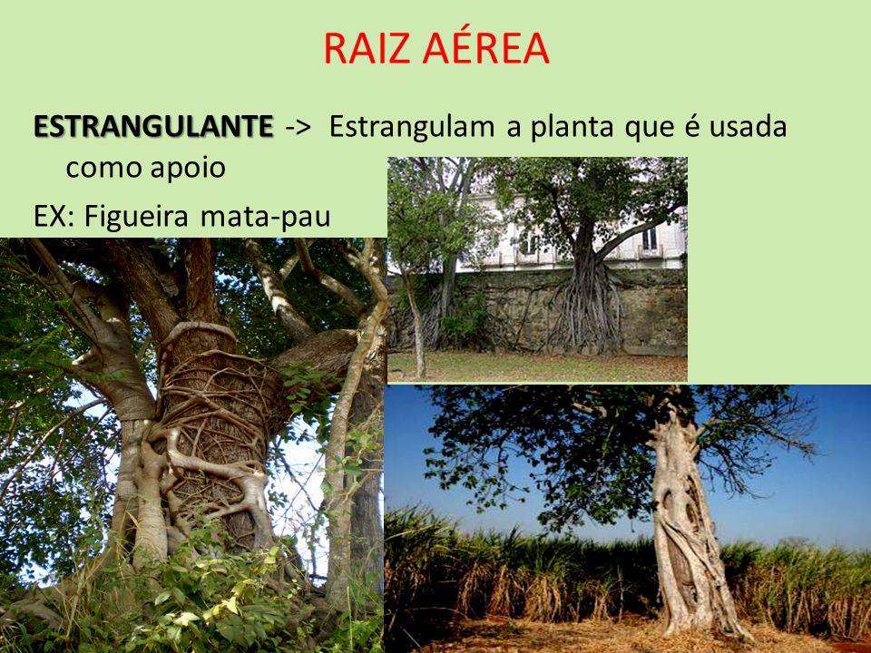 RAIZ AÉREA ESTRANGULANTE ESTRANGULANTE -> Estrangulam a planta que é usada como apoio EX: Figueira mata-pau