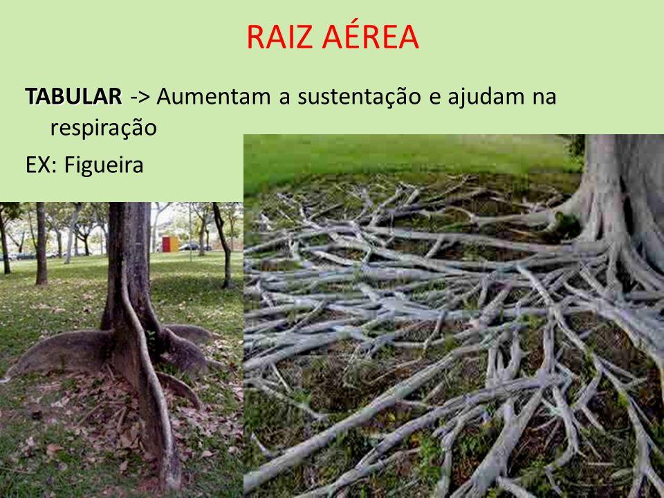 RAIZ AÉREA TABULAR TABULAR -> Aumentam a sustentação e ajudam na respiração EX: Figueira