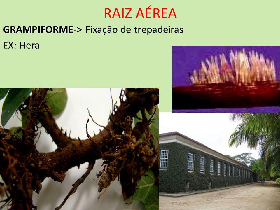 RAIZ AÉREA GRAMPIFORME GRAMPIFORME-> Fixação de trepadeiras EX: Hera