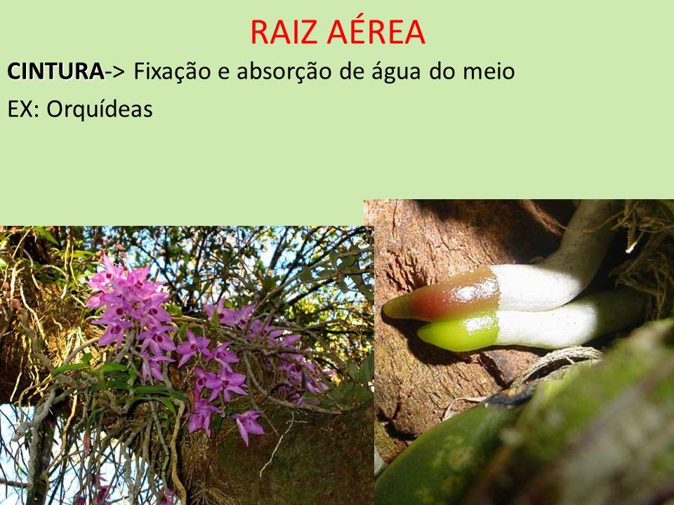 CINTURA CINTURA-> Fixação e absorção de água do meio EX: Orquídeas
