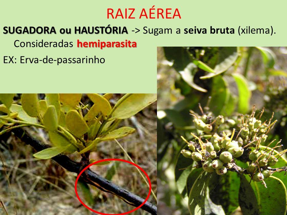 RAIZ AÉREA SUGADORA ou HAUSTÓRIA hemiparasita SUGADORA ou HAUSTÓRIA -> Sugam a seiva bruta (xilema). Consideradas hemiparasita EX: Erva-de-passarinho