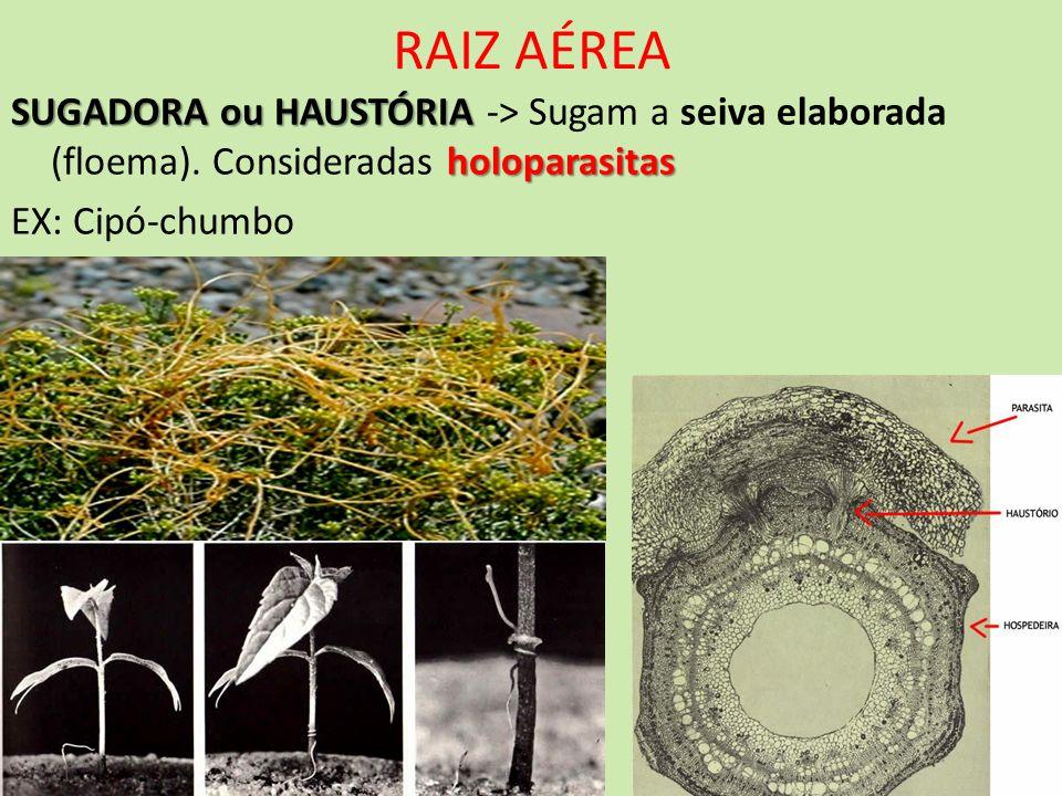 RAIZ AÉREA SUGADORA ou HAUSTÓRIA holoparasitas SUGADORA ou HAUSTÓRIA -> Sugam a seiva elaborada (floema). Consideradas holoparasitas EX: Cipó-chumbo