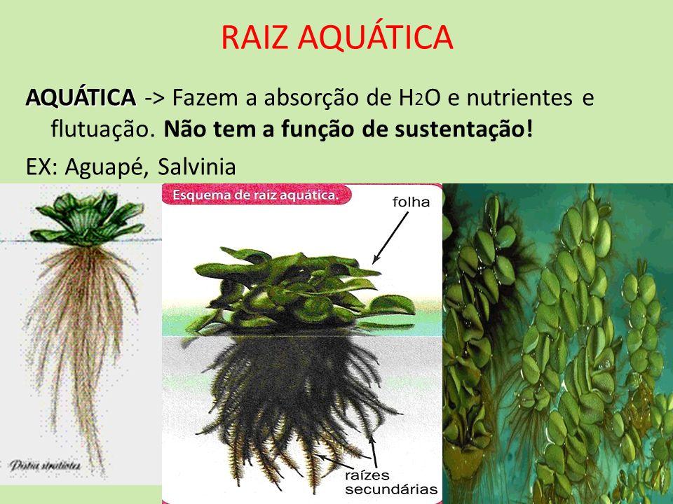 RAIZ AQUÁTICA AQUÁTICA AQUÁTICA -> Fazem a absorção de H 2 O e nutrientes e flutuação. Não tem a função de sustentação! EX: Aguapé, Salvinia