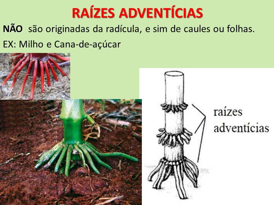 RAÍZES ADVENTÍCIAS NÃO NÃO são originadas da radícula, e sim de caules ou folhas. EX: Milho e Cana-de-açúcar