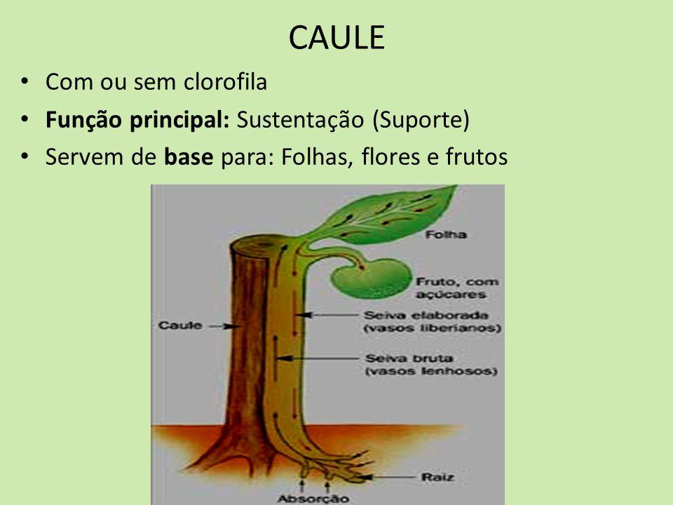 CAULE Com ou sem clorofila Função principal: Sustentação (Suporte) Servem de base para: Folhas, flores e frutos