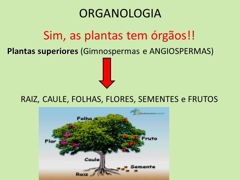 ORGANOLOGIA Sim, as plantas tem órgãos!! Plantas superiores Plantas superiores (Gimnospermas e ANGIOSPERMAS) RAIZ, CAULE, FOLHAS, FLORES, SEMENTES e F