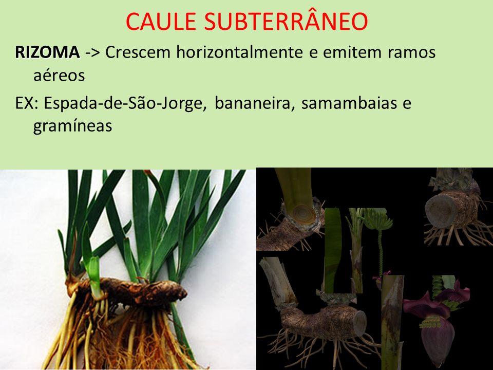 CAULE SUBTERRÂNEO RIZOMA RIZOMA -> Crescem horizontalmente e emitem ramos aéreos EX: Espada-de-São-Jorge, bananeira, samambaias e gramíneas