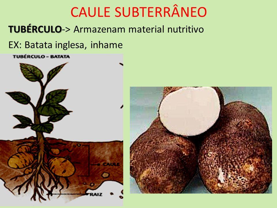 CAULE SUBTERRÂNEO TUBÉRCULO TUBÉRCULO-> Armazenam material nutritivo EX: Batata inglesa, inhame