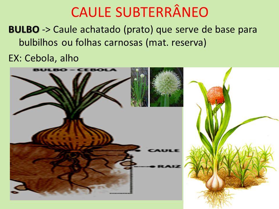 CAULE SUBTERRÂNEO BULBO BULBO -> Caule achatado (prato) que serve de base para bulbilhos ou folhas carnosas (mat. reserva) EX: Cebola, alho