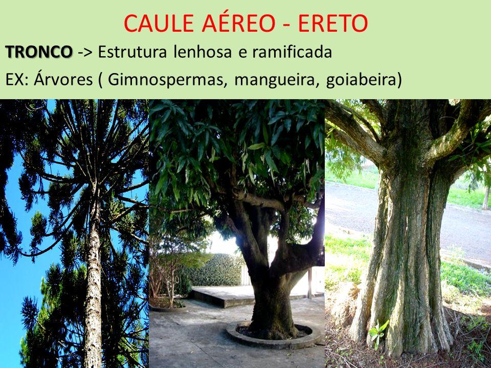 CAULE AÉREO - ERETO TRONCO TRONCO -> Estrutura lenhosa e ramificada EX: Árvores ( Gimnospermas, mangueira, goiabeira)