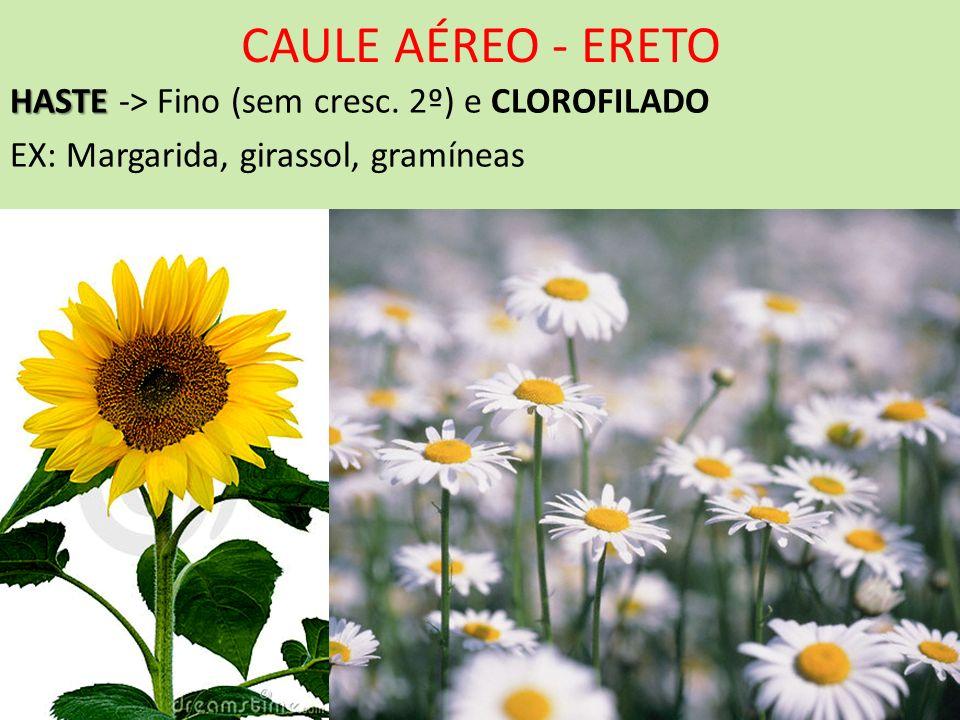 CAULE AÉREO - ERETO HASTE HASTE -> Fino (sem cresc. 2º) e CLOROFILADO EX: Margarida, girassol, gramíneas
