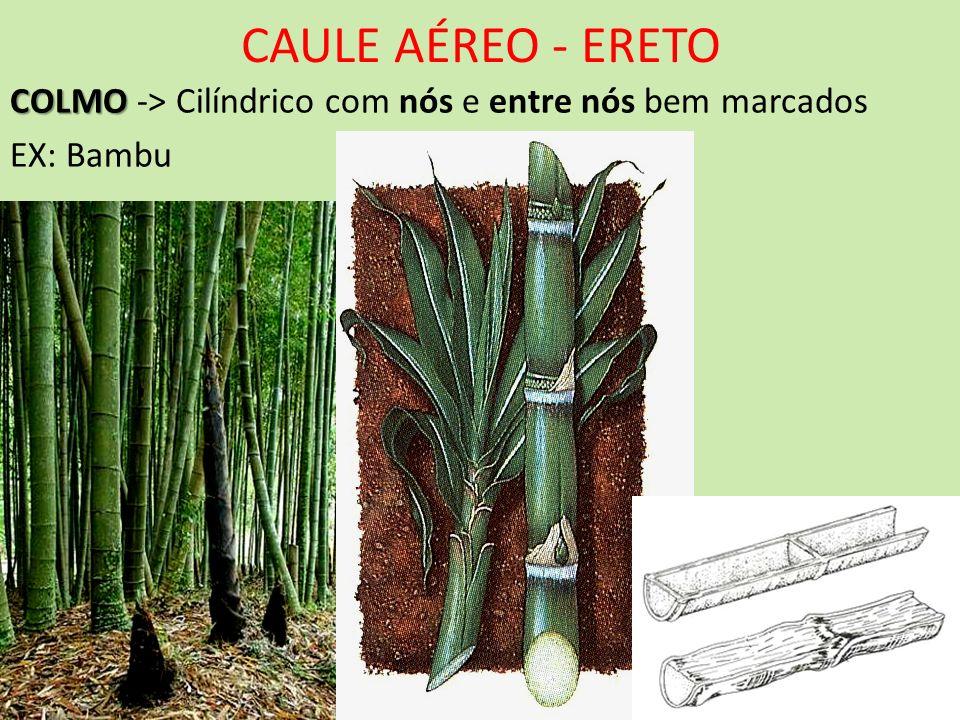 CAULE AÉREO - ERETO COLMO COLMO -> Cilíndrico com nós e entre nós bem marcados EX: Bambu