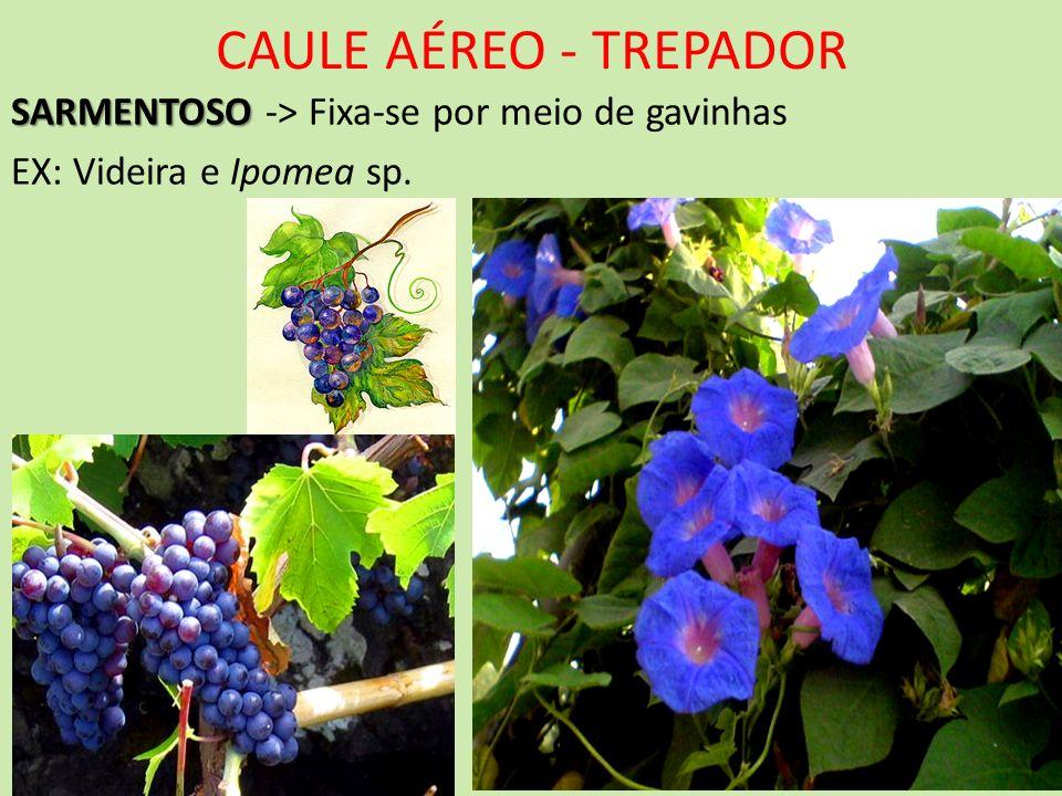 CAULE AÉREO - TREPADOR SARMENTOSO SARMENTOSO -> Fixa-se por meio de gavinhas EX: Videira e Ipomea sp.