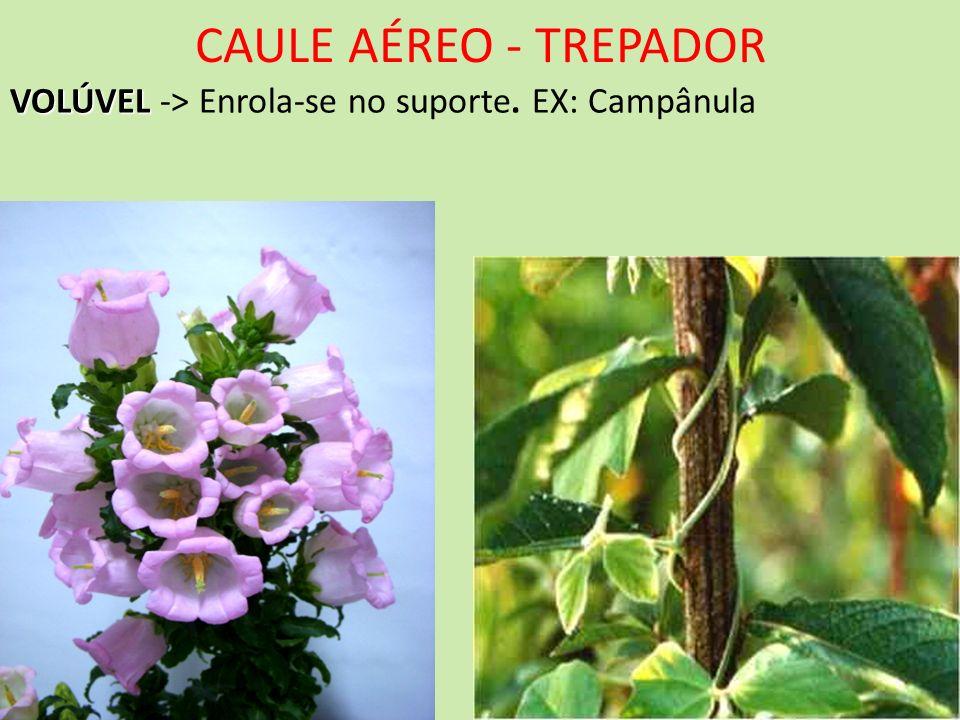 CAULE AÉREO - TREPADOR VOLÚVEL VOLÚVEL -> Enrola-se no suporte. EX: Campânula