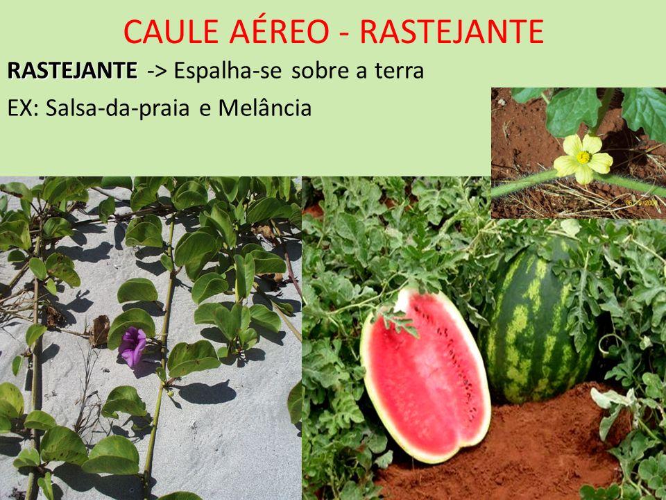 CAULE AÉREO - RASTEJANTE RASTEJANTE RASTEJANTE -> Espalha-se sobre a terra EX: Salsa-da-praia e Melância