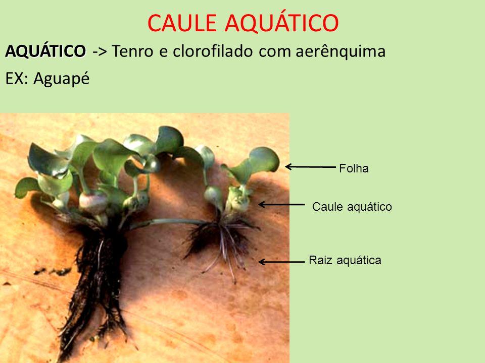 CAULE AQUÁTICO AQUÁTICO AQUÁTICO -> Tenro e clorofilado com aerênquima EX: Aguapé Folha Caule aquático Raiz aquática