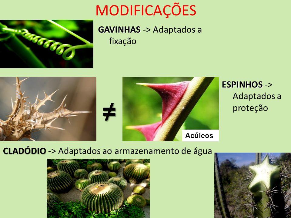 MODIFICAÇÕES GAVINHAS GAVINHAS -> Adaptados a fixação ESPINHOS ESPINHOS -> Adaptados a proteção CLADÓDIO CLADÓDIO -> Adaptados ao armazenamento de águ