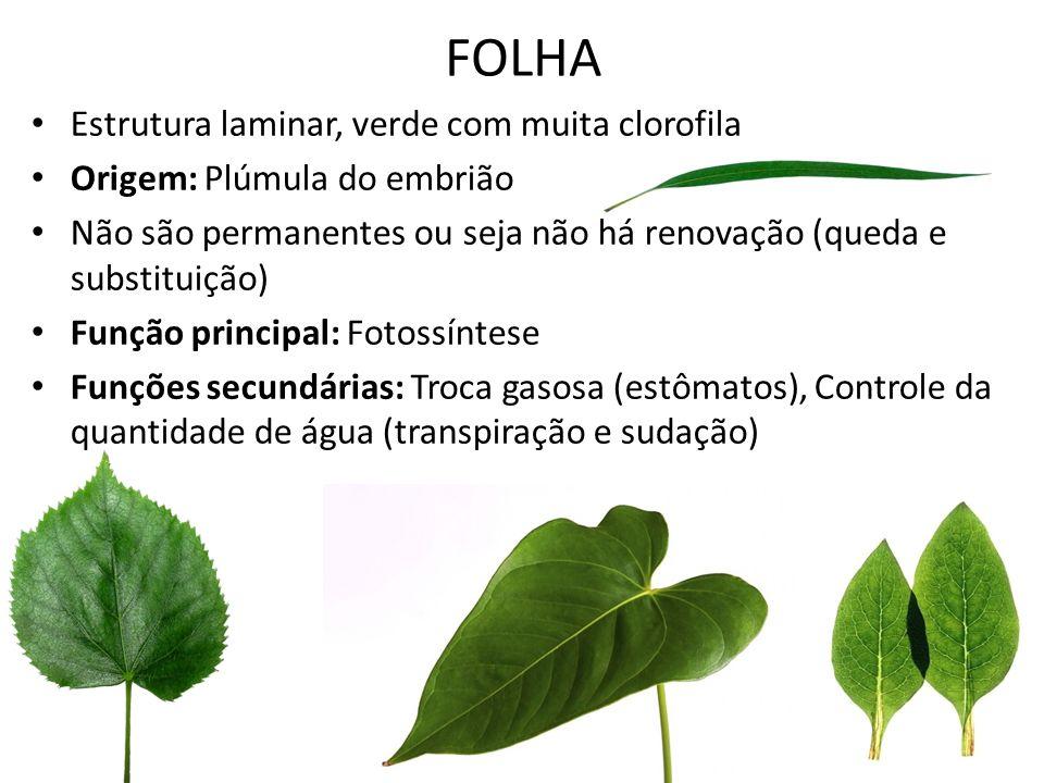 FOLHA Estrutura laminar, verde com muita clorofila Origem: Plúmula do embrião Não são permanentes ou seja não há renovação (queda e substituição) Funç