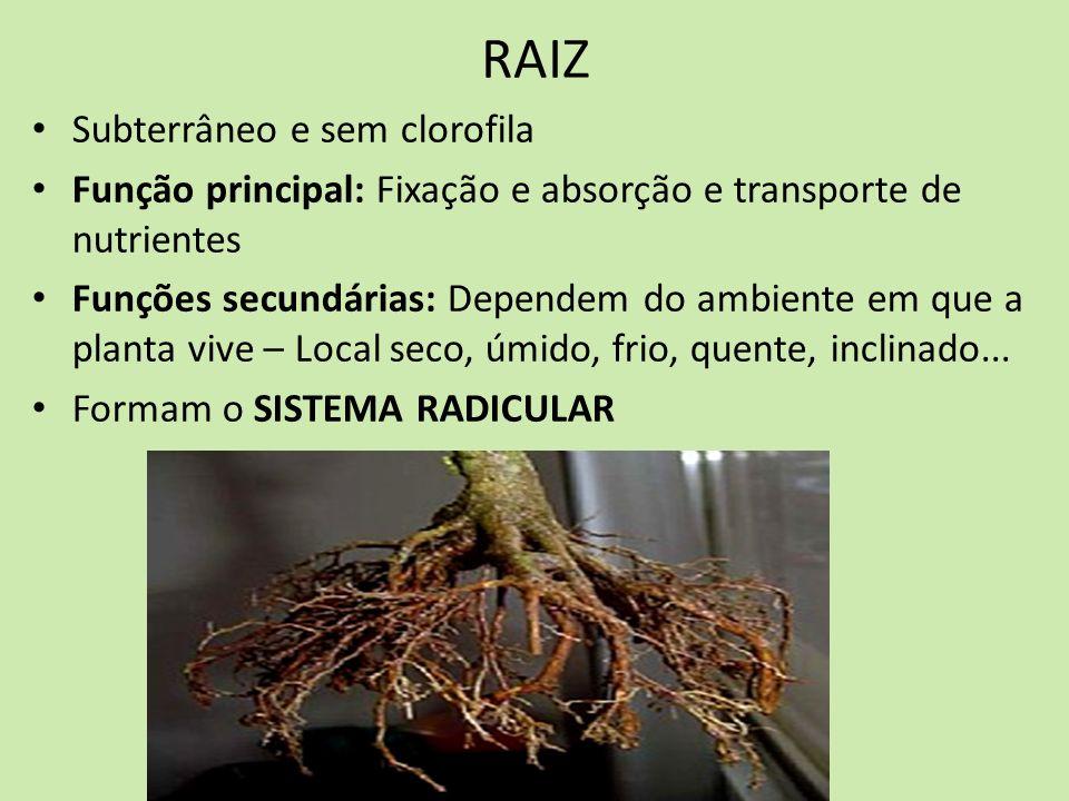 RAIZ Subterrâneo e sem clorofila Função principal: Fixação e absorção e transporte de nutrientes Funções secundárias: Dependem do ambiente em que a pl