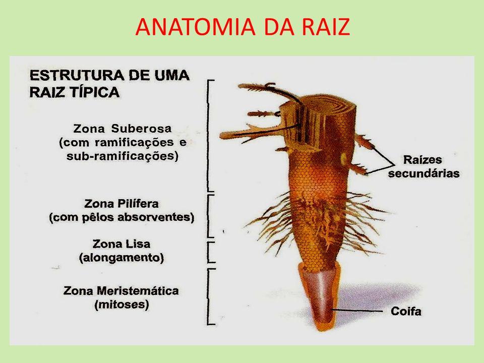 ANATOMIA DA RAIZ