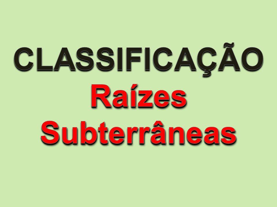 RAIZ SUBTERRÂNEA AXIAL ou PIVOTANTE AXIAL ou PIVOTANTE -> Eixo principal, ramificações, coifa pequena e grande comprimento.